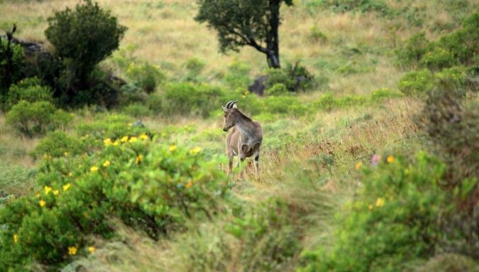 Nilgiri-Tahr-in-Eravikulam-National-Park